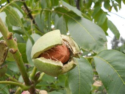 Народные средства от потницы грецкий орех